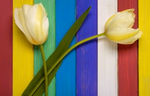 Two yellow tulips and colored wooden background